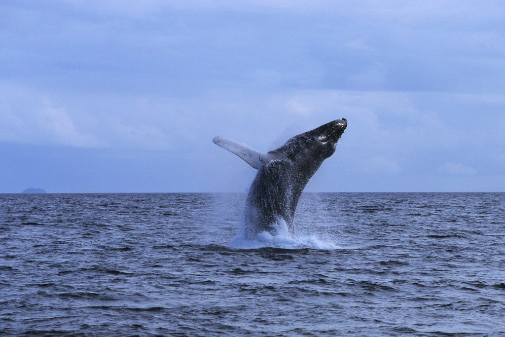 Detail of Humpback Whale Breaching by Corbis