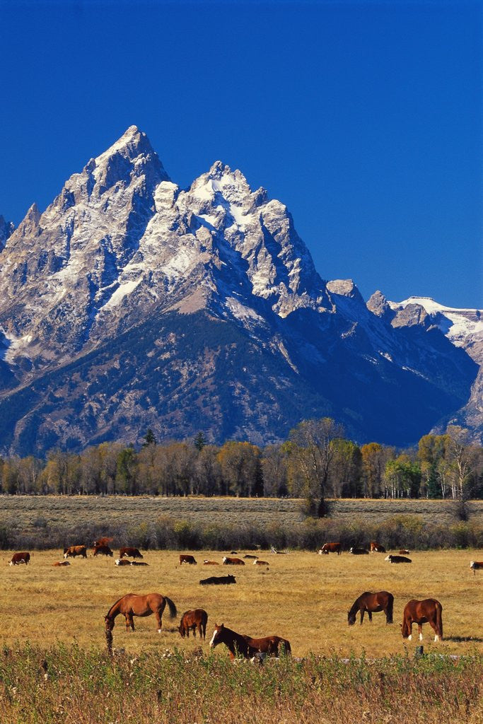 Detail of Horses Grazing near Teton Range by Corbis