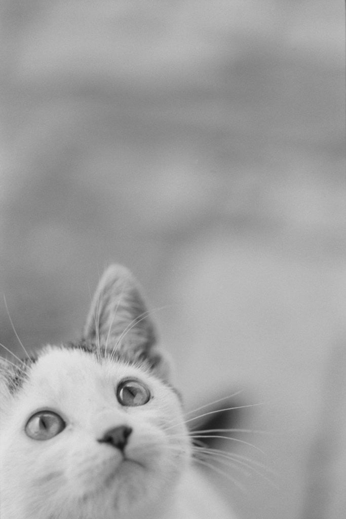 Detail of Cat's Head by Corbis