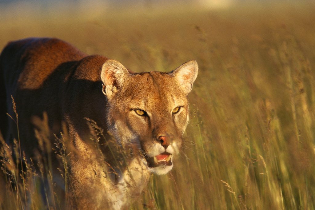 Detail of Mountain Lion Roaming in Field by Corbis