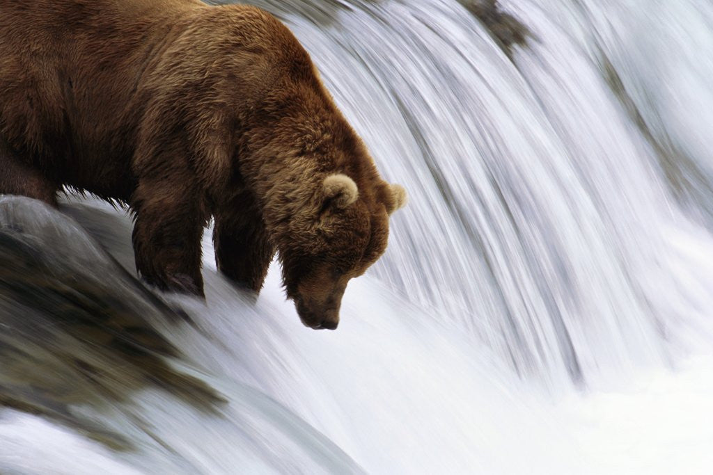 Detail of Brown Bear Fishing at Brooks Falls by Corbis