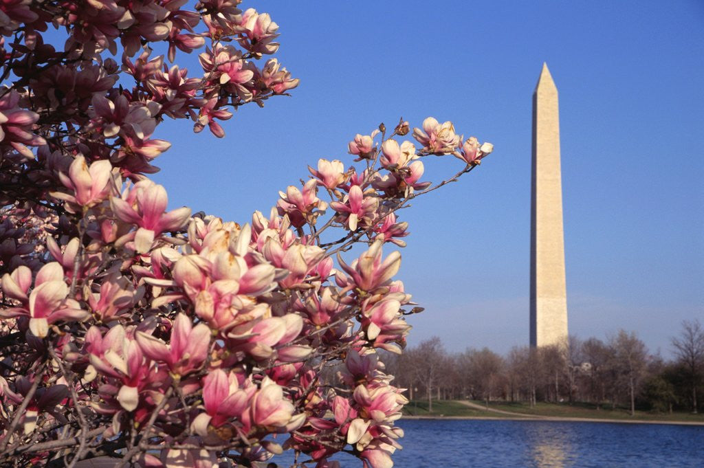 Detail of Blooming Magnolia near Washington Monument by Corbis
