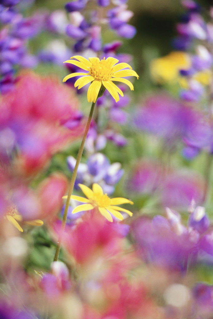 Detail of Yellow Daisies Among Flowers by Corbis