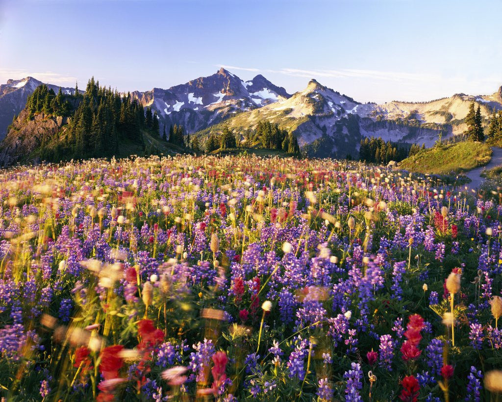 Detail of Wildflower Meadow and Tatoosh Range by Corbis