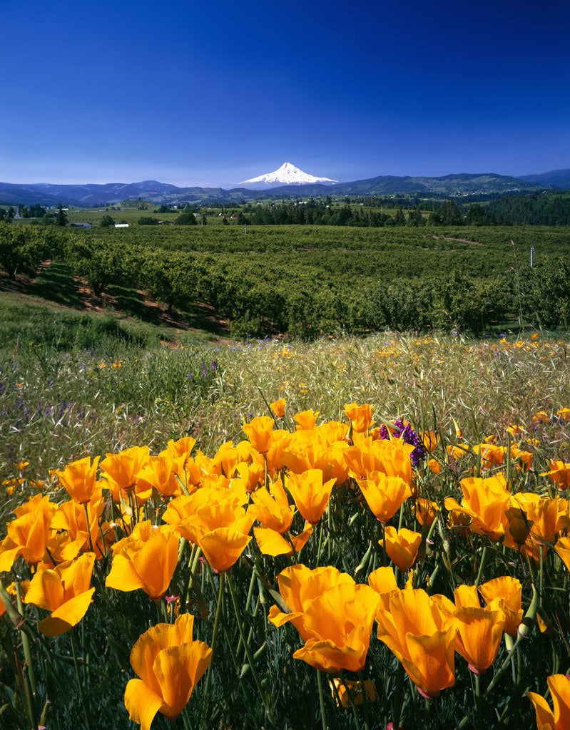Detail of California Poppies and Mount Hood by Corbis