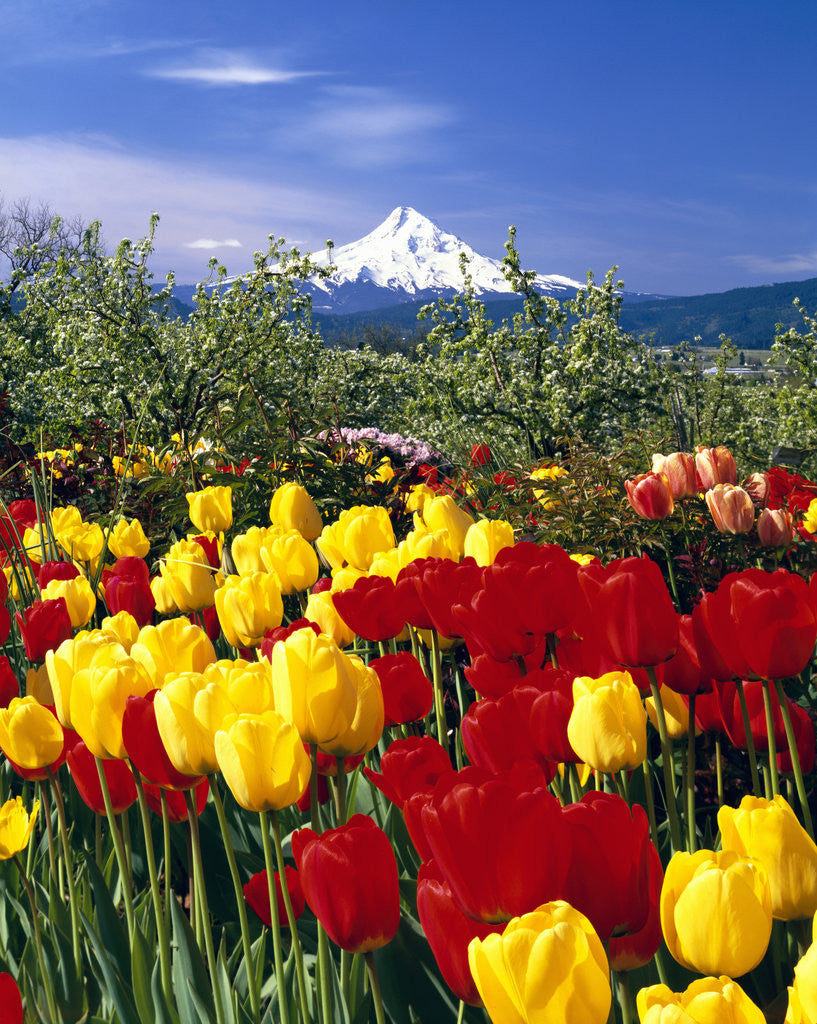 Detail of Blooming Tulips and Mount Hood by Corbis