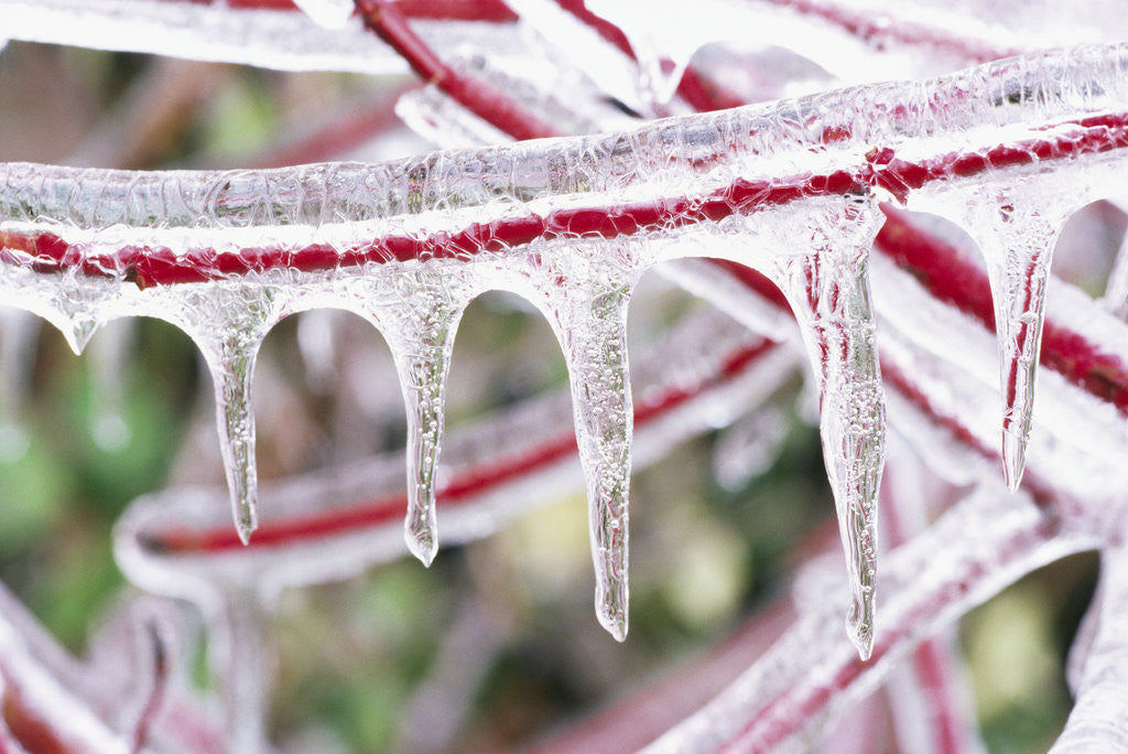 Detail of Icicles Hanging from Frozen Plant Stem by Corbis