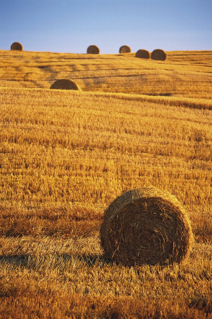 Detail of Harvested Fields of Hay by Corbis