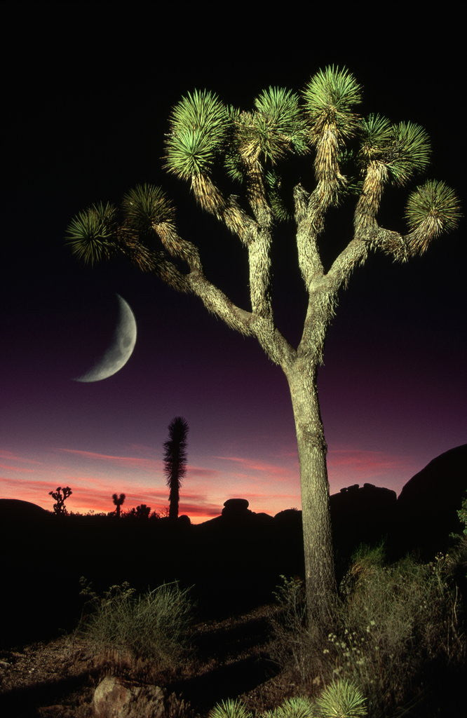 Detail of Crescent Moon and Joshua Tree by Corbis