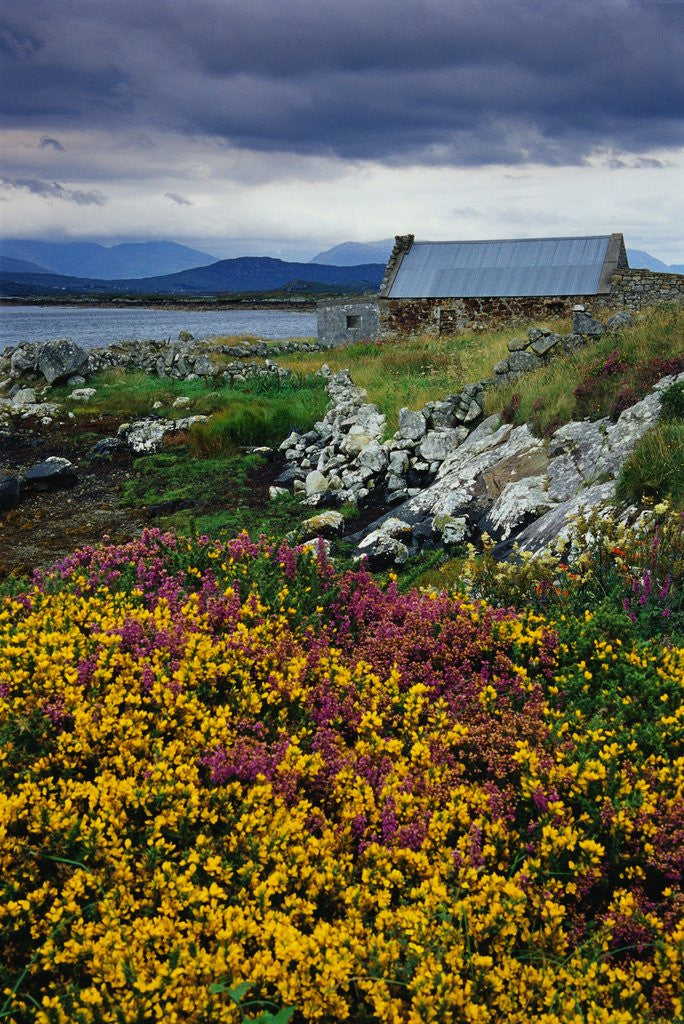 Detail of Flowers Along Carna Bay by Corbis