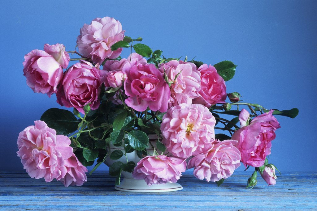 Detail of Grussan Achen Felicia and Centenaire de Lourdes Roses by Corbis
