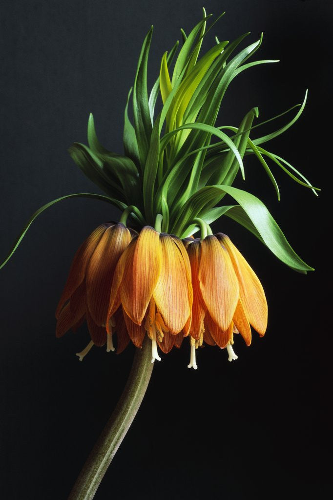 Detail of Crown Imperial by Corbis