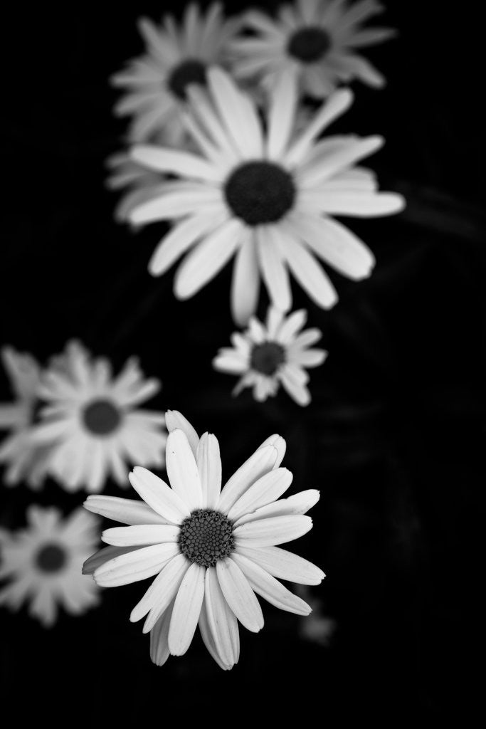 Detail of Flowers in black&white by Phil Payne