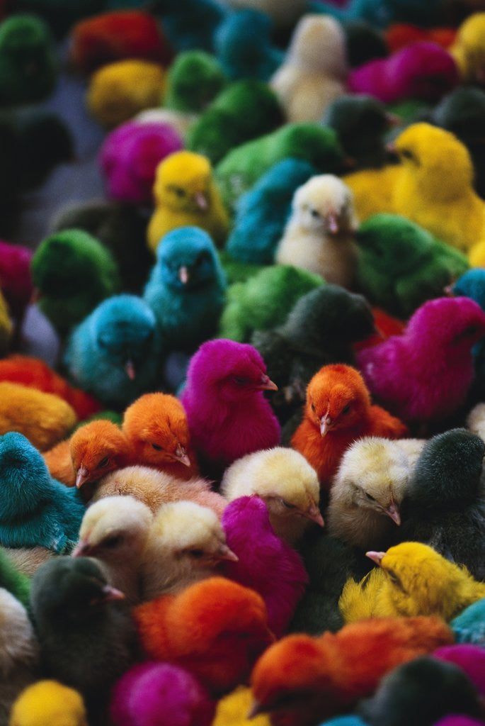 Detail of Chicks Colored for Indian Holiday by Corbis