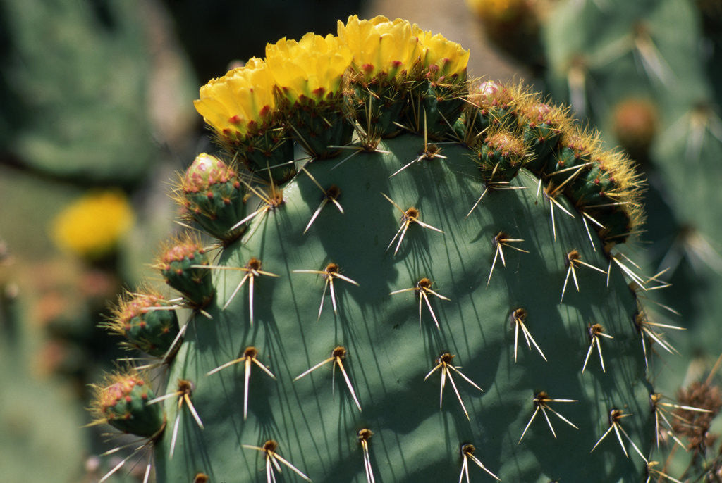 Detail of Flowering Nopal Cacti by Corbis