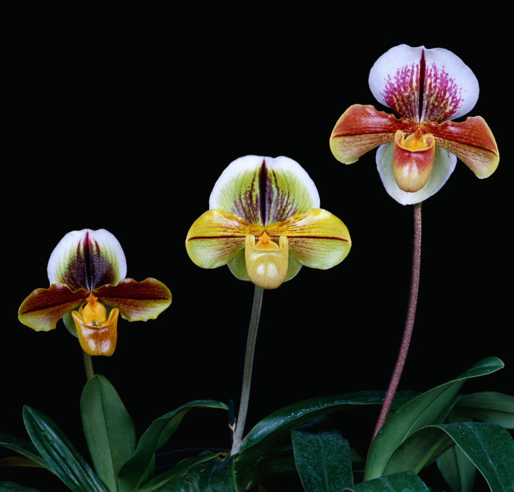 Detail of Three Paphiopedilum Orchids by Corbis