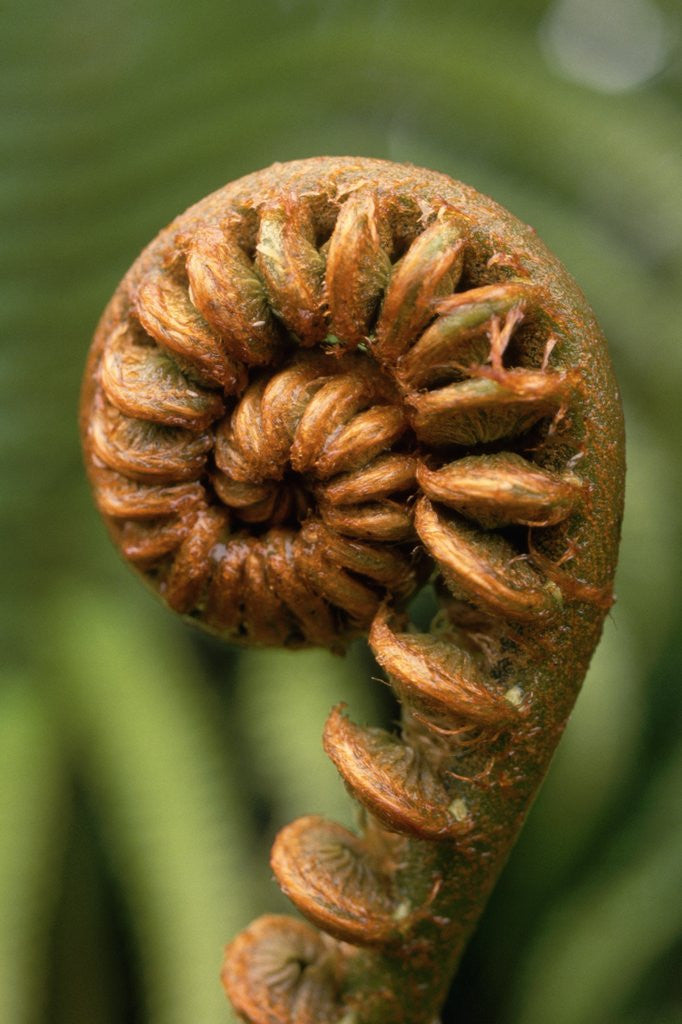 Detail of Fiddlehead of Sadleria Fern by Corbis