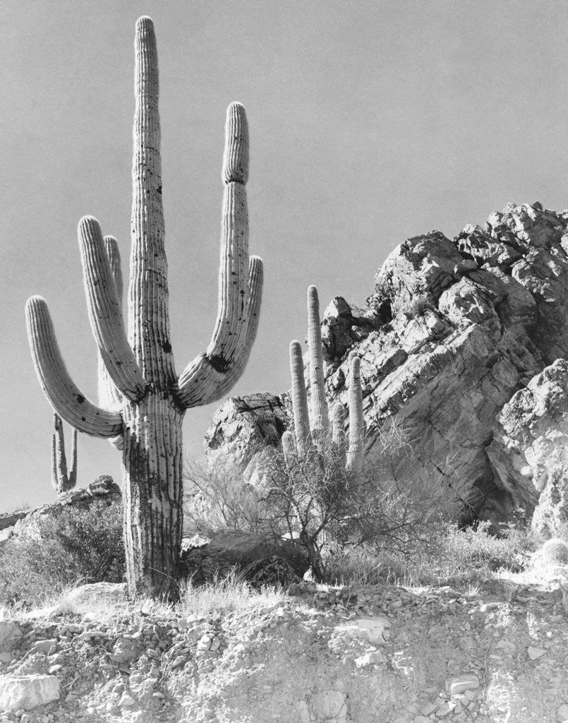 Detail of View of a Saguaro Cactus in Desert Site by Corbis