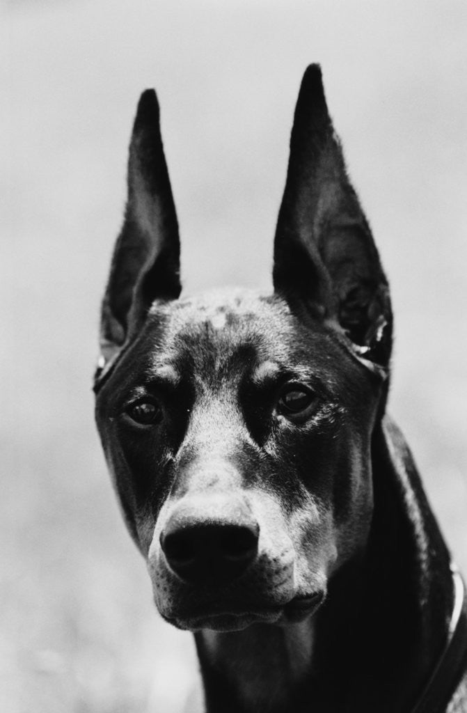 Detail of Head of Doberman Pinscher by Corbis