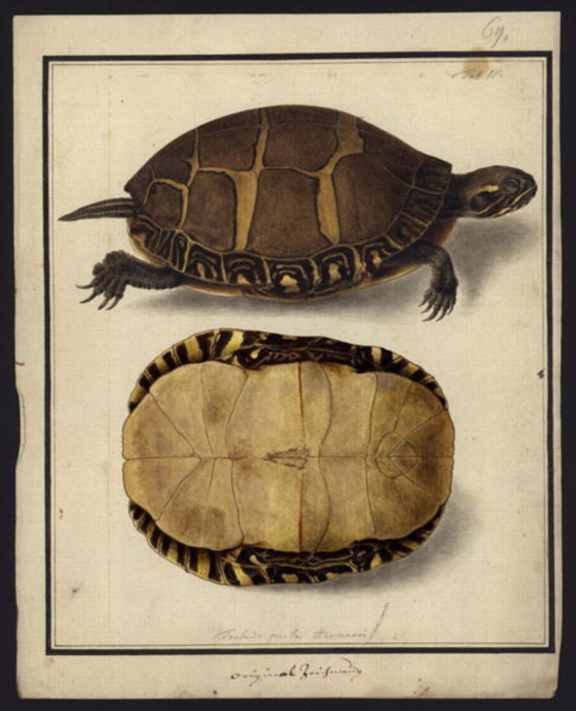 Detail of Chrysemys picta, before 1792 by Friedrich Wilhelm Wunder