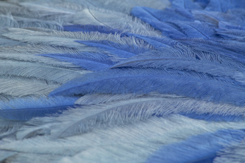 Detail of Blue ostrich feather fan, 1933 by Unknown
