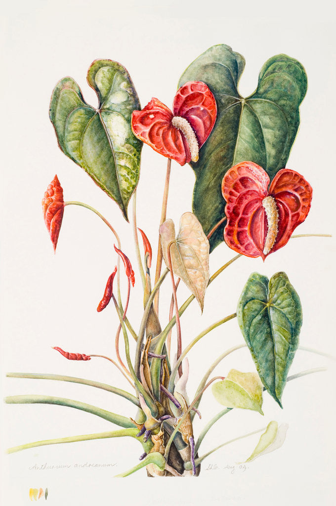 Detail of Anthurium andreanum (Flamingo flower) by Susan Conroy