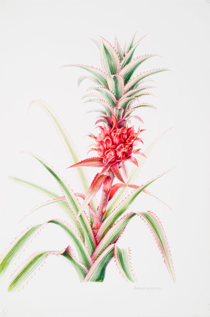 Detail of Ananas comosus (Pineapple) by Anne Patterson