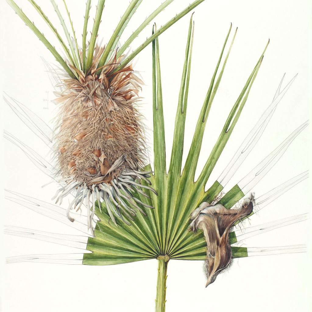 Detail of Chamaerops (Fan palm) by Shirley Slocock