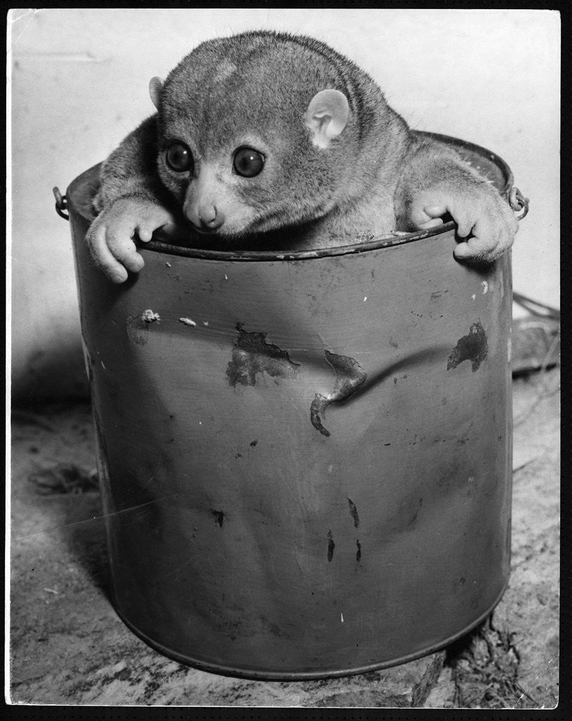 Detail of Bosman's Potto in a Paint Can by Corbis