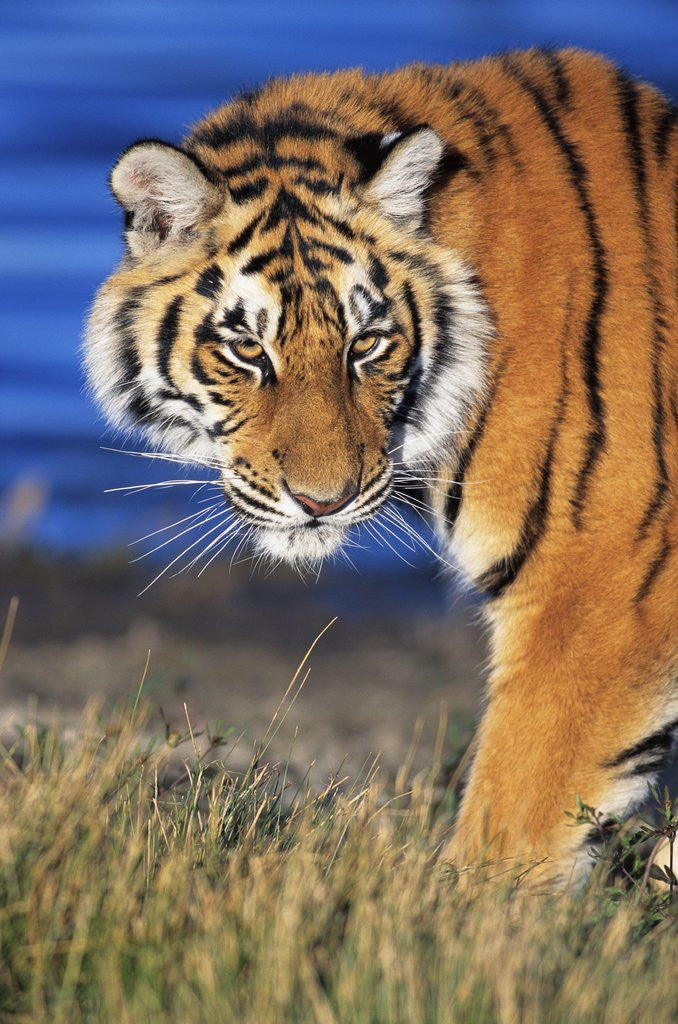 Detail of Bengal Tiger by Corbis
