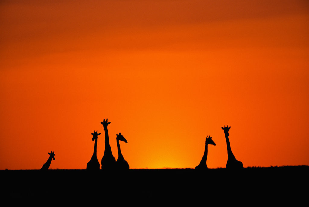 Detail of Giraffe Silhouettes at Sunset by Corbis