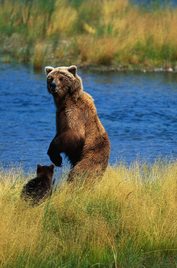 Detail of Brown Bear Sow and Cub by Corbis