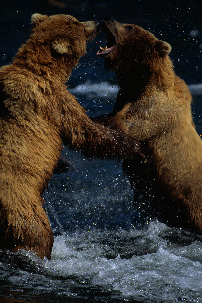 Detail of Alaskan Brown Bears in Brooks River by Corbis