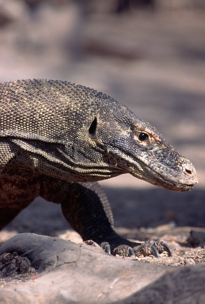 Detail of Front End of a Komodo Dragon Lizard by Corbis