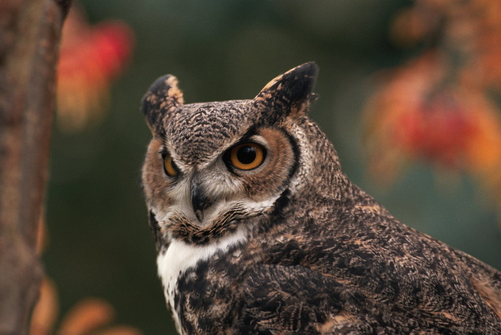 Detail of Great Horned Owl With Blurred Autumn Foliage by Corbis