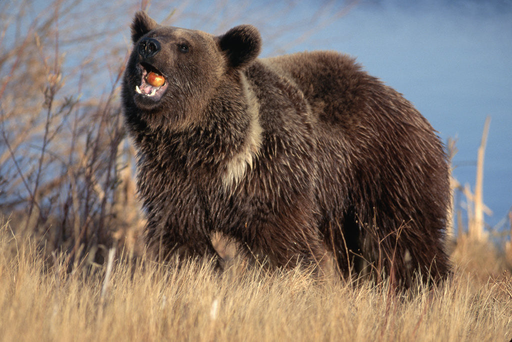Detail of Grizzly Bear Eating Apple by Corbis