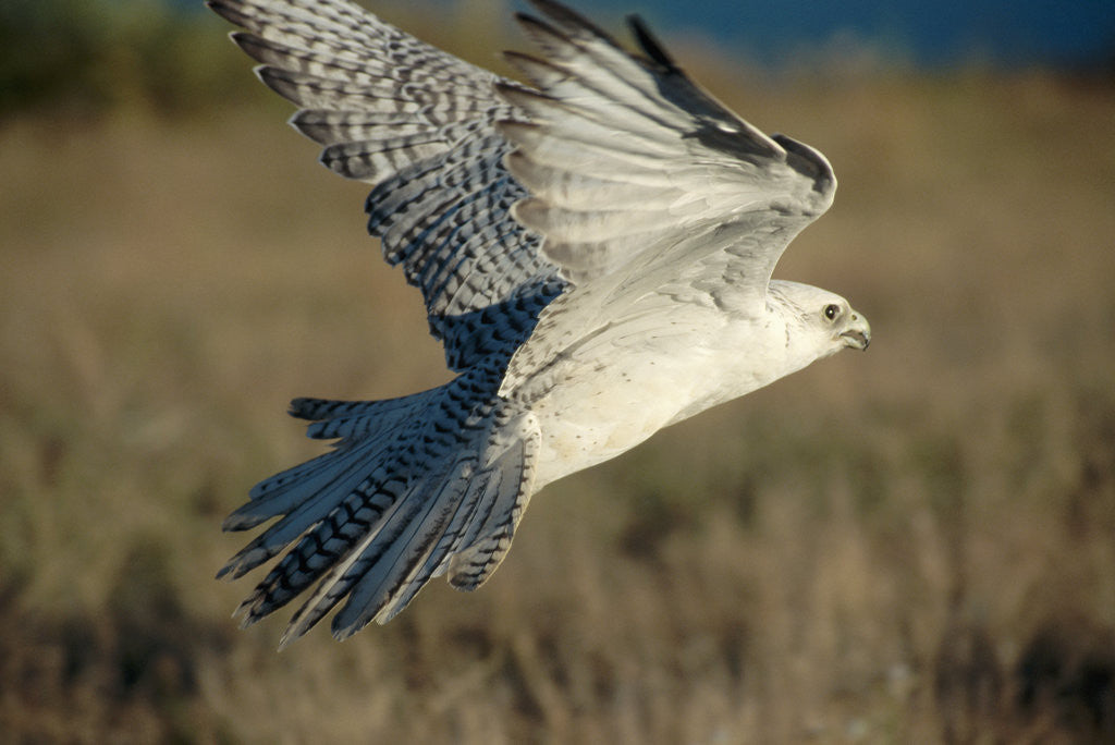 Detail of Gyrfalcon in Flight by Corbis