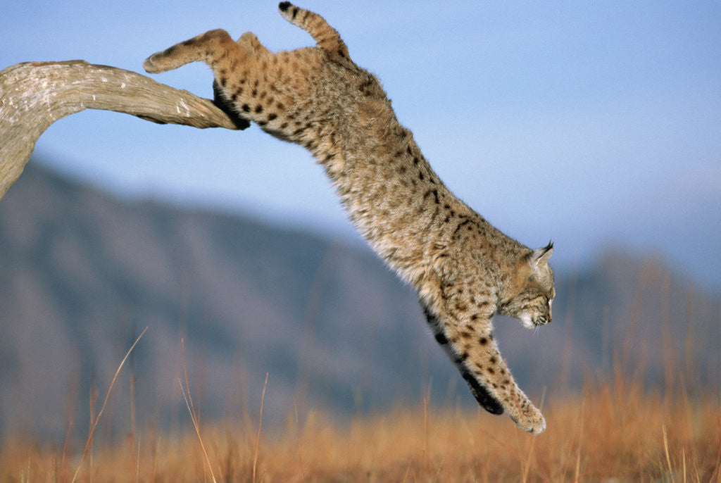 Detail of Bobcat Jumping from Branch by Corbis
