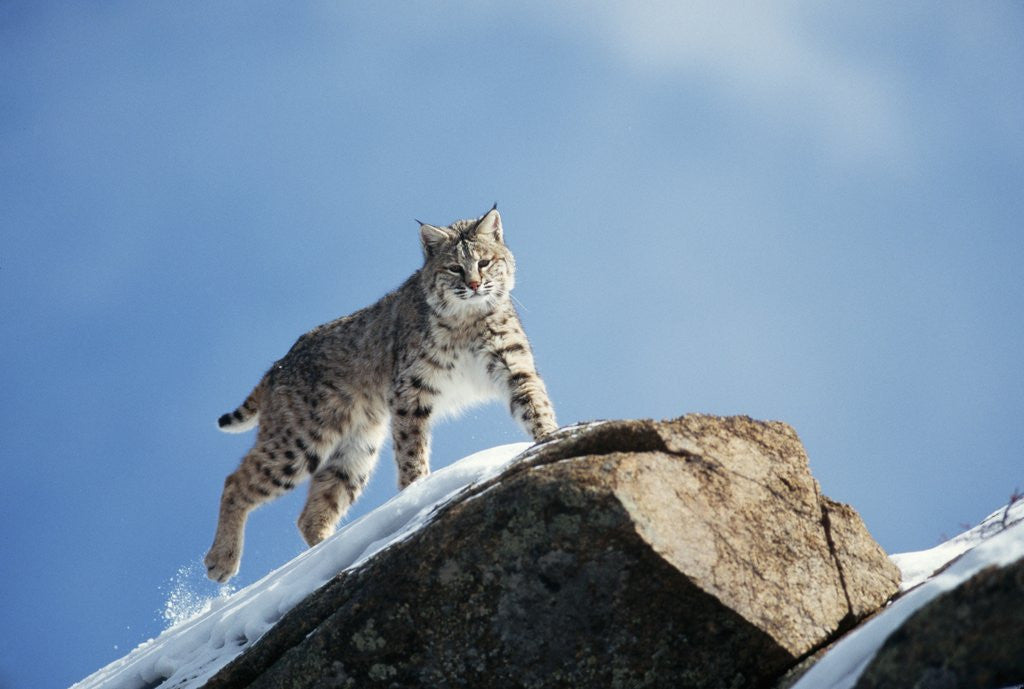 Detail of Bobcat Standing on Granite Cliff by Corbis