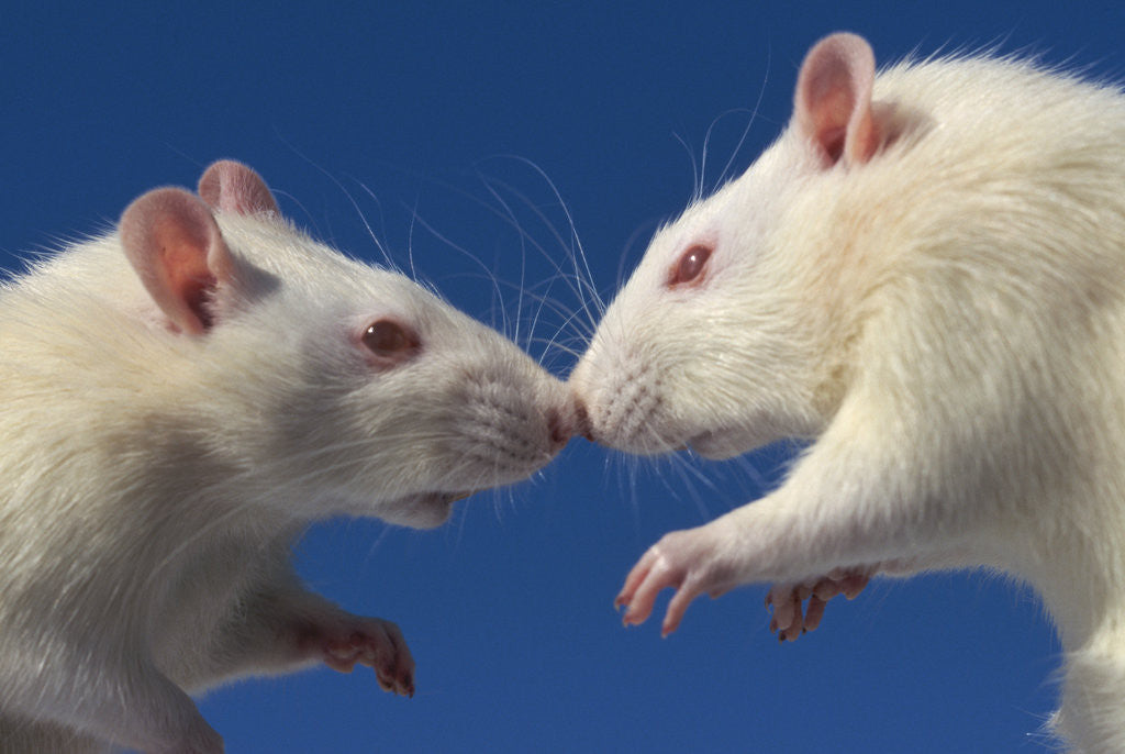 Detail of Aggressive Albino Rats Nose to Nose by Corbis