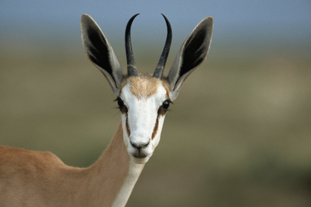 Detail of Head of a Springbok by Corbis
