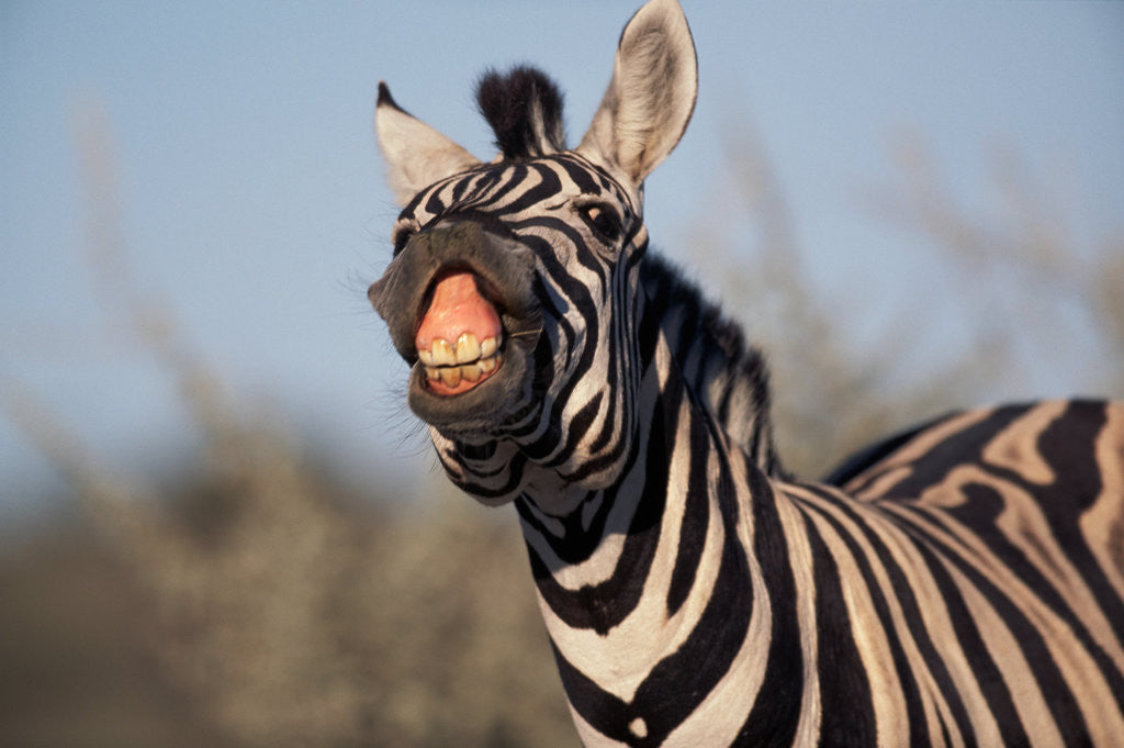 Detail of Plains Zebra Baring Its Teeth by Corbis