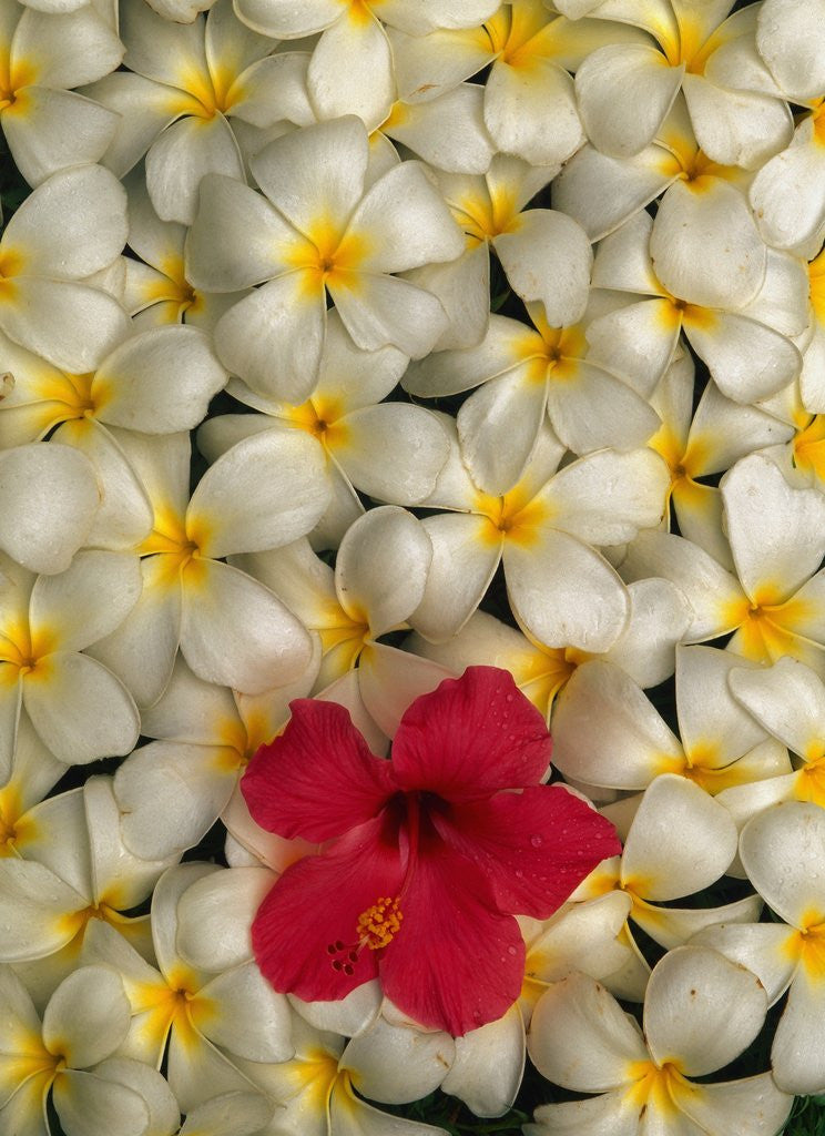 Detail of Hibiscus and Plumeria Blooms by Corbis