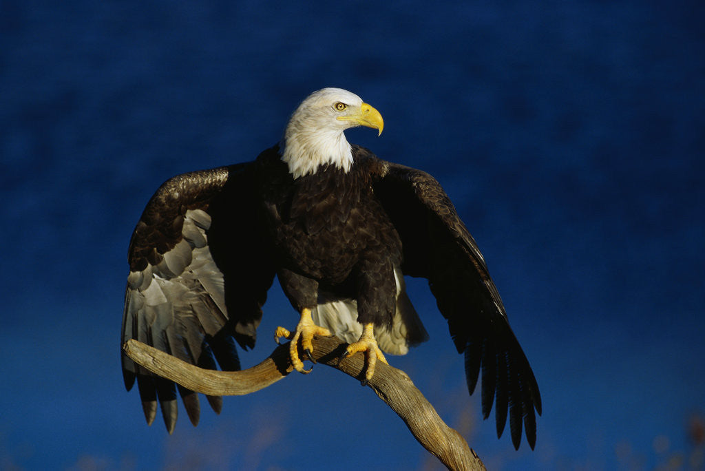 Detail of Bald Eagle Landing on a Snag by Corbis