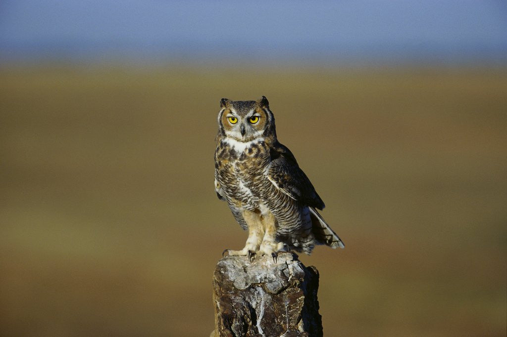 Detail of Great Horned Owl Perching on Post by Corbis