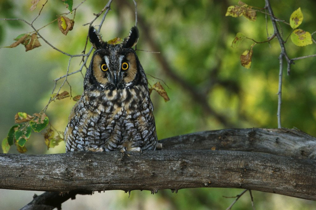 Detail of Long-Eared Owl Perched on Tree Branch by Corbis