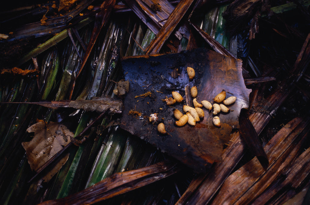 Detail of Edible Grubs are a Korowai Delicacy by Corbis