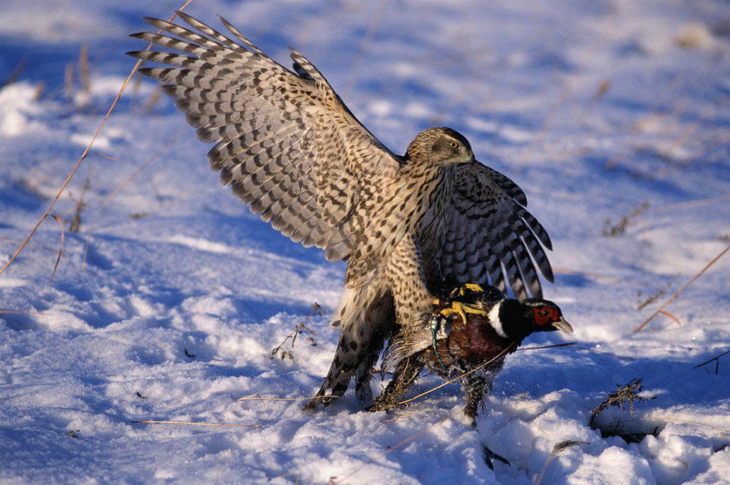 Detail of Goshawk Catching Prey by Corbis