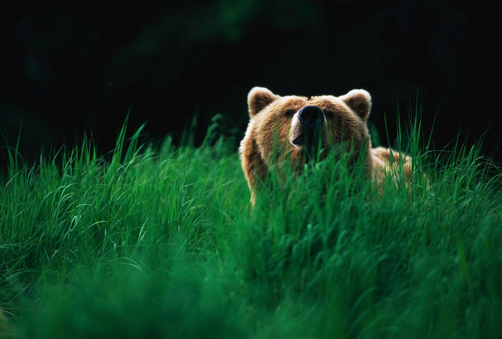 Detail of Brown Bear in Tall Grass by Corbis