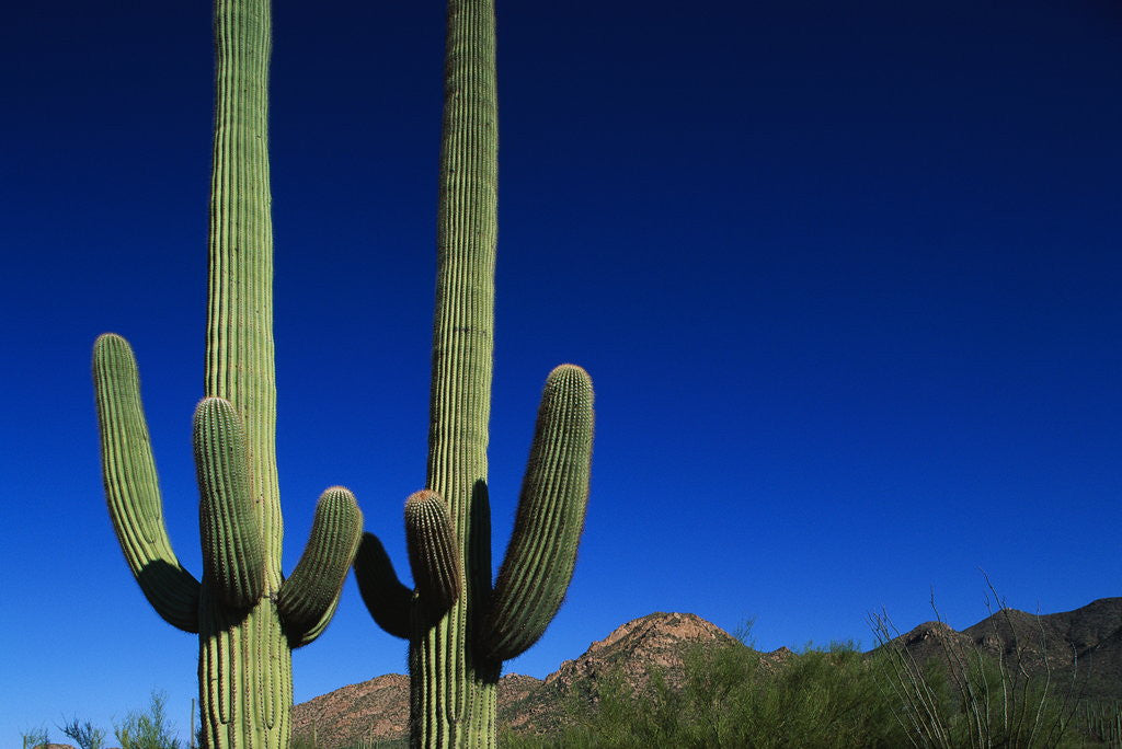 Detail of Cactuses at Sunrise by Corbis